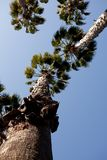 Washingtonia filifera Stock Photography