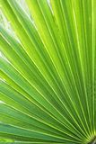 Washingtonia filifera Desert Fan Palm American Cotton Palm Arizona Fan Palm Stripped tropical pointy leaves Ribbed leaf Washington. Ia palm background texture royalty free stock photos