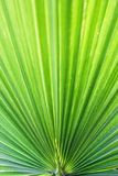 Washingtonia filifera Desert Fan Palm American Cotton Palm Arizona Fan Palm Stripped tropical pointy leaves Ribbed leaf Washington. Ia palm background texture royalty free stock image