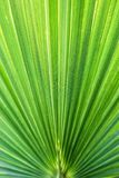 Washingtonia filifera Desert Fan Palm American Cotton Palm Arizona Fan Palm Stripped tropical pointy leaves Ribbed leaf Washington. Ia palm background texture royalty free stock photography
