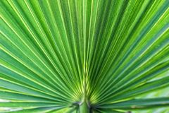 Washingtonia filifera Desert Fan Palm American Cotton Palm Arizona Fan Palm Stripped tropical pointy leaves Ribbed leaf Washington. Ia palm background texture stock image