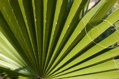 Washingtonia filifera leaf on blue sky background. Stripped palm Royalty Free Stock Photography