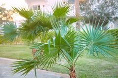 Washingtonia filiferapalmträd som utomhus växer royaltyfria bilder