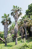 Washingtonia palm in the city of Sochi Stock Photo
