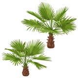 Washingtonia Palm Trees Isolated Stock Images