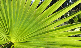 Washingtonia robusta Fotografia Stock
