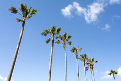 Washingtonia robusta drzewa Obrazy Royalty Free
