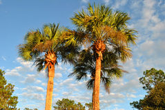 Washingtonia robusta Stock Image