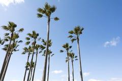 Washingtonia robusta trees Royalty Free Stock Photo