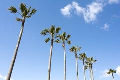 Washingtonia robusta trees Royalty Free Stock Images