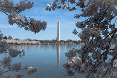 Washinton monument som inramas av Cherry Blossoms Royaltyfri Foto