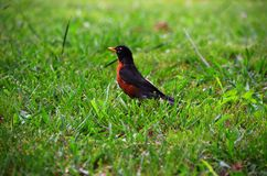 Pretty Rockin` Robin. He wasn`t afraid of me, I figured he was posing for the camera Stock Photo