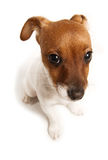 It wasn't me. A guilty looking Jack Russell Terrier puppy stock photo
