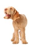 Wasn't me. Spinone pup with humorous expression,looking a little bonkers Royalty Free Stock Photos