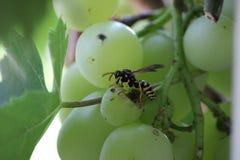 Wasp äter druvor Arkivfoto