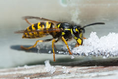 Wasp äter socker Arkivfoto