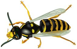 Wasp 02 Royalty Free Stock Photography