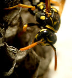 Wasp...(1) Stock Images