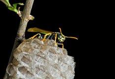 wasp 10 Royaltyfri Bild
