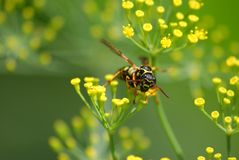 Wasp Royalty Free Stock Photography