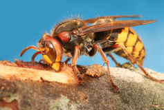 Wasp Royalty Free Stock Images