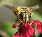 Wasp...(11) Royalty Free Stock Photo