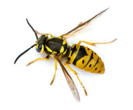 Wasp. Macro shot of Eastern Yellowjacket Wasp (Vespula maculifrons) isolated on white Stock Photos