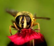 Wasp...(13) Royalty Free Stock Photos