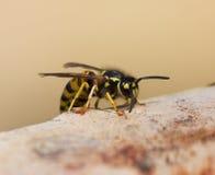 wasp fotografering för bildbyråer