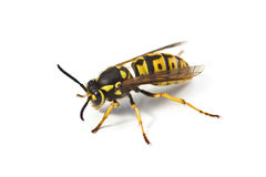 Wasp. Isolated on white background Stock Photo