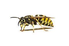 Wasp. Close-up of a live Yellow Jacket Wasp isolated on a white background Royalty Free Stock Photos