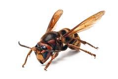 Free Wasp Royalty Free Stock Image - 14452966