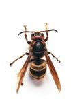 Wasp. Macro photo of big wasp isolated on white Stock Photography