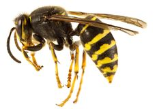 Wasp. Stripped wasp close up isolated Royalty Free Stock Image