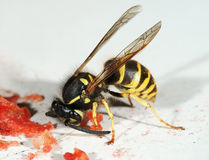 The wasp Stock Image
