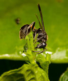 Wasp. Black Wasp Royalty Free Stock Images