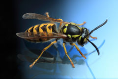 Wasp. With reflection, image on blue background Royalty Free Stock Images