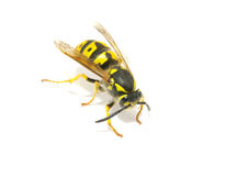 Wasp stock photos