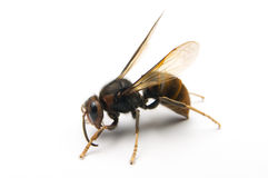 WASP. The wasp stop on the white background Stock Photo