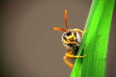 Wasp. Yellow wasp on a leaf Stock Image