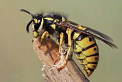 Wasp. Close up of a common wasp (Vespula germanica Royalty Free Stock Photo