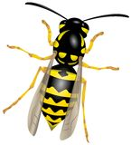 Wasp Stock Photography