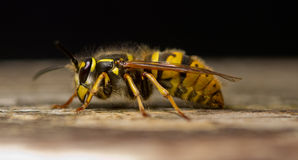 Wasp. On a wooden plank macro shot Royalty Free Stock Photography