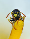 Wasp. Royalty Free Stock Photo