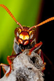 Wasp. Closeup of a wasp on a small stick or branch.  Order:  Hymenoptera Stock Photography