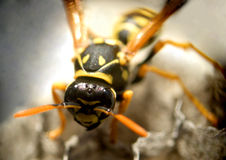 Wasp...(2) Royalty Free Stock Photo