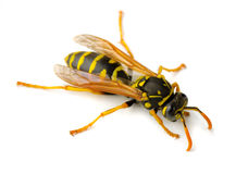 Wasp. European paper wasp (Polistes dominula)  on white background Royalty Free Stock Photos