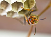 Wasp. Royalty Free Stock Image