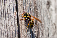 Wasp. A wasp with yellow banded stripes and wood in its jaws foor nest building Royalty Free Stock Images