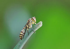 Wasp. Spotted Wasp stay on leaf royalty free stock photos